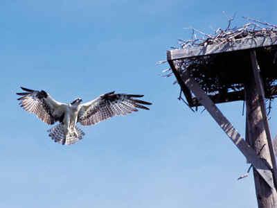 osprey.jpg (91609 bytes)